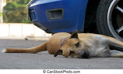 The homeless red dog lies on the asphalt road. Thailand, Pattaya