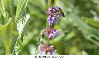 The honey bee flies and collects pollen for honey on a violet-red flower.