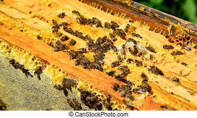 Honey bees on wax combs, outdoors - The Honey bees on wax...