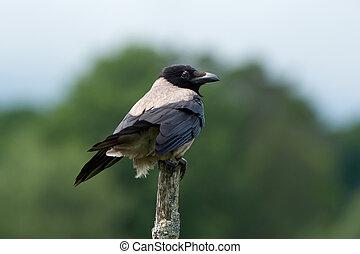 Hooded Crow (Corvus cornix) - The Hooded Crow (Corvus cornix...