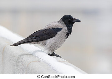 The Hooded crow In winter near river