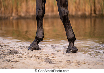 The hooves of a horse strolling along the sandy beach of a small lake. A horse runs on water. Strength and Beauty