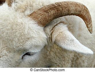 The Horn of a Ram