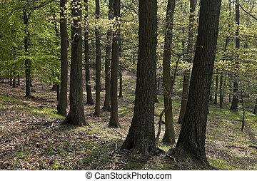 The hornbeam forest - The old hornbeam forest in falls ...