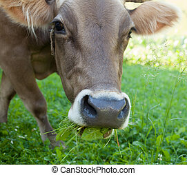 The horned cow grazing grass. Cattle farm. Dairy cattle.