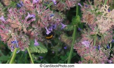 The hornet bumblebee flies around the cornflower and ...