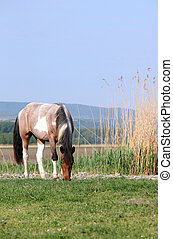 the horse grazes the grass in the meadow in the spring