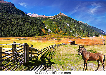 The horse grazing in fenced meadow