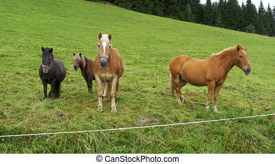 The Horses Graze on a Green Meadow in the Alpine Mountains....