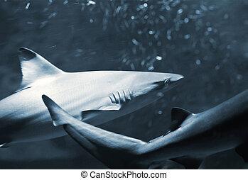 sharks - the hound sharks (Triaenodon obesus)