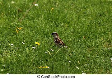 House sparrow - The House sparrow on meadow.