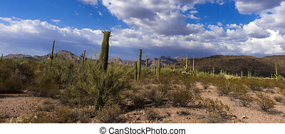 The huge cactus - Carnegie giant (Carnegiea gigantea). Organ...