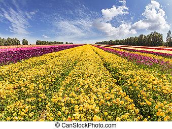 The huge field of buttercups
