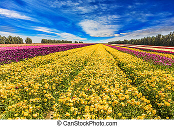 The huge field of spring buttercups