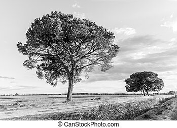The huge pine trees in the vast countryside