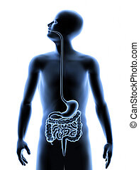 3D image of the human Digestive system inside the human body. Healthy lifestyle / healthcare concept image.