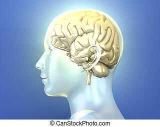 Human Brain - The Human Brain. 3D rendered anatomical...