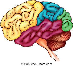 The human brain - An illustration of the human brain