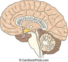 The human brain - Cross-section of the human brain. Vector ...