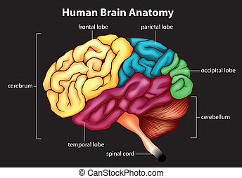 The human brain - Illustration of the human brain