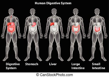 The human digestive system - Digestive sytem of humans on a ...