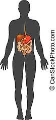 The human digestive system. Illustration anatomy body.