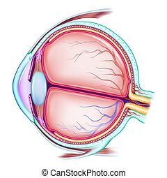 The human eye. The structure of the eyeball. Medical...
