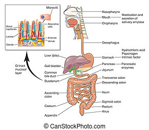 Gastrointestinal system with detail of gut mucosal cells -- labeled