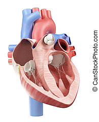 The human heart - Cross-section illustration of the human ...