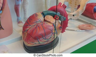 The Human Heart Model - Human heart model internal organs...