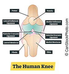 The human knee vector diagram illustration