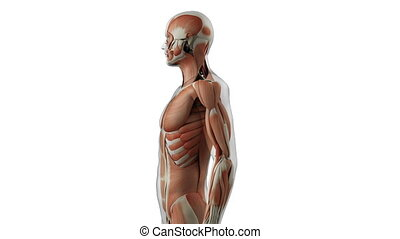 The human muscle system
