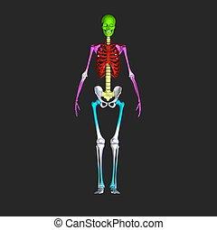 skleton - The human skeleton is the internal framework of...