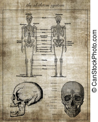 The human skeleton system, part of body