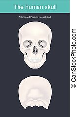 The human skull is the bony structure that forms the head in...