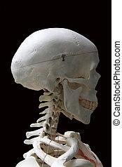 The human skull Isolated On black