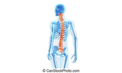 The human spine - Animation showing the human spine