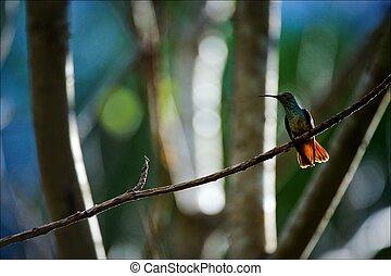 The hummingbird on a branch.