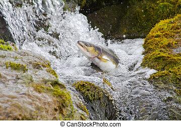 The female of humpback salmon rises upwards in falls. Commander Islands. Kamchatka