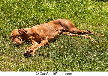 The Hungarian pointer Vizsla sleeps in the grass. Hot day on the farm. Dog rest.