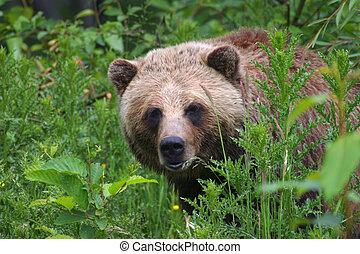 Brown Bear/Grizzly peaking around some dense foliage.