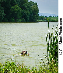 the hunting dog - hunting dog caught a duck in water