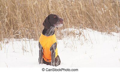 The hunting dog is waiting for a signal from the owner to start hunting