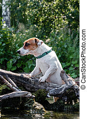 The hunting dog Jack Russell Terrier