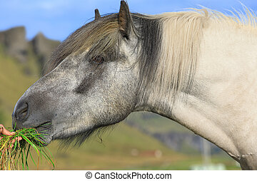 The Icelandic horse is eating green grass