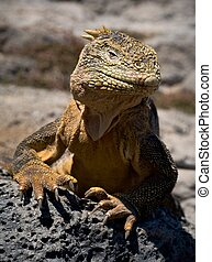 The iguana on a lava. The iguana has lifted a head and...