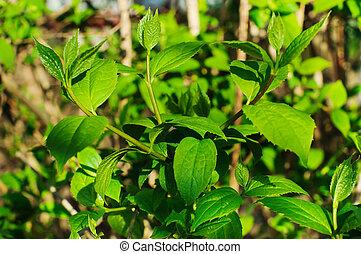 The image of a beautiful jasmine