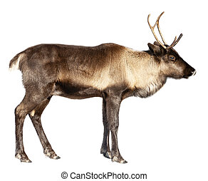 The image of a northern deer on a white background