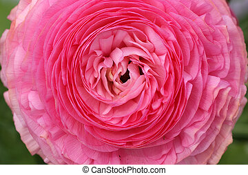 The image of a very large bud blooming pink roses closeup