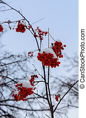 The image with the bright red Rowan berries under the snow